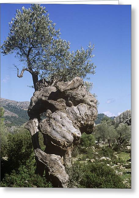 (olea Europaea) Greeting Cards - Olive Tree Greeting Card by Dirk Wiersma