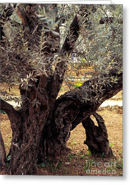 Olive Grove Greeting Cards - Olive Tree in The Garden of Gethsemane Greeting Card by Thomas R Fletcher