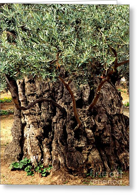 Olive Grove Greeting Cards - Olive Tree the Garden of Gethsemane Greeting Card by Thomas R Fletcher