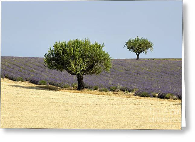 The Plateaus Greeting Cards - Olives tree in Provence Greeting Card by Bernard Jaubert