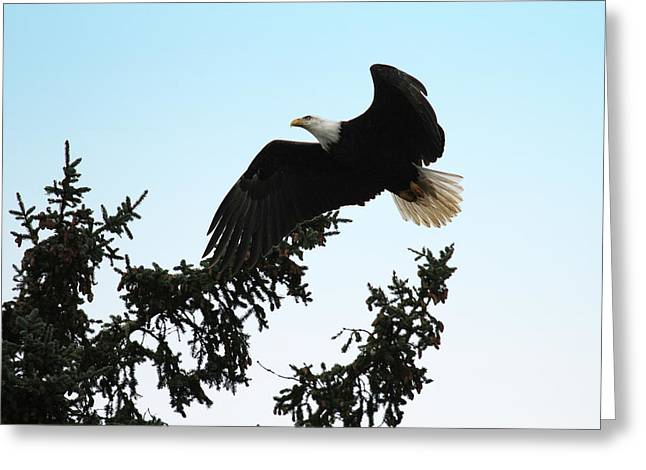David Yunker Greeting Cards - Olympic Bald Eagle Greeting Card by David Yunker
