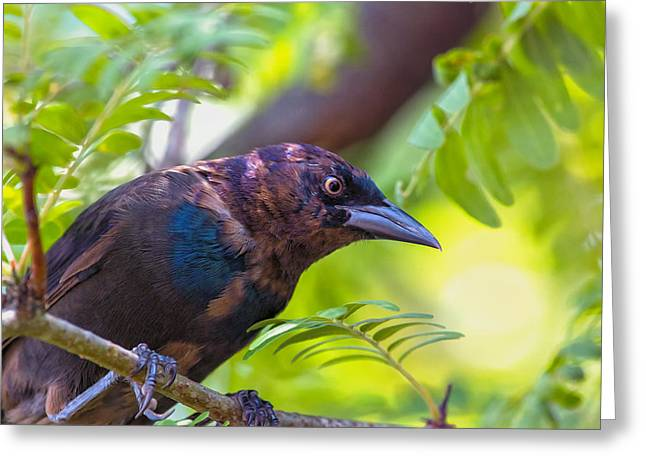 Sharp Claws Greeting Cards - Ominous Molting Grackle Greeting Card by Bill Tiepelman