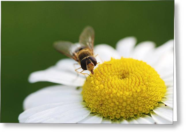 Sucking Greeting Cards - On a daisy Greeting Card by Laura Melis