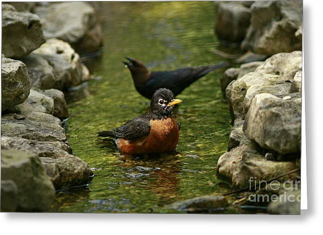 Stream Greeting Cards - On a Hot Summer Day- Birds of a Feather Bath Together Greeting Card by Inspired Nature Photography By Shelley Myke