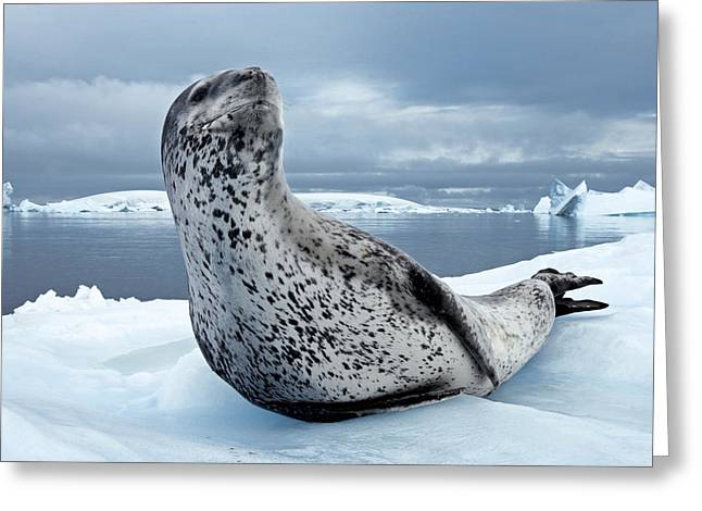 Best Sellers -  - Ocean Mammals Greeting Cards - On Alert, An Adult Leopard Seal Scans Greeting Card by Paul Nicklen