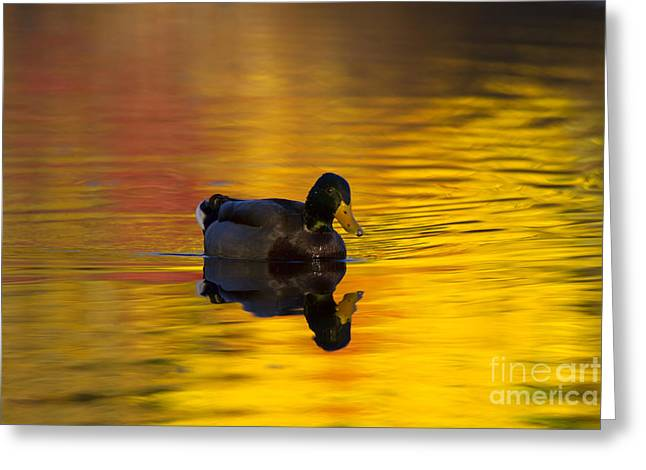 Mallards Greeting Cards - On Golden Waters Greeting Card by Mike  Dawson
