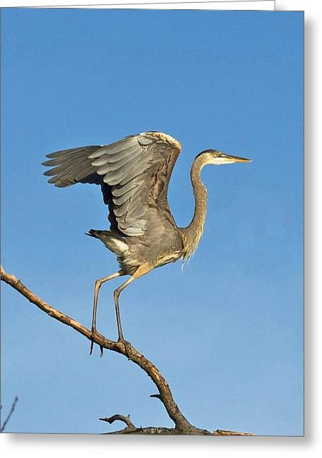 Lake Wylie Greeting Cards - On Guard Greeting Card by Mark Wilkins
