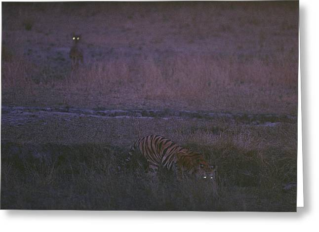 The Tiger Greeting Cards - On The Hunt, Sita Stalks Her Prey Greeting Card by Michael Nichols