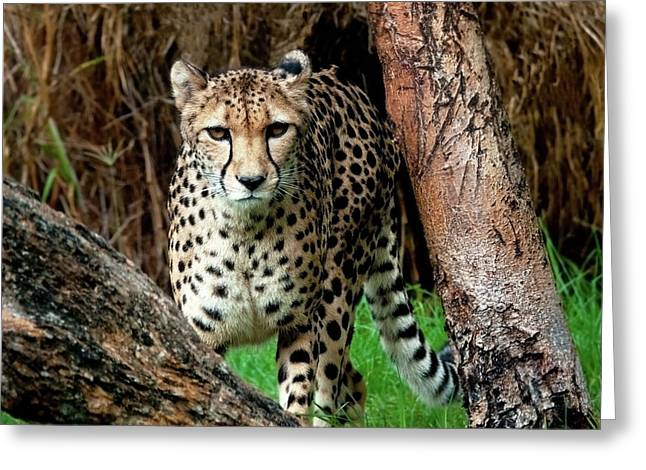 On The Prowl Greeting Card by Heather Thorning