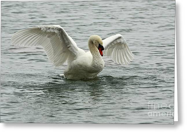 On The Wings Of A Swan Greeting Card by Inspired Nature Photography Fine Art Photography