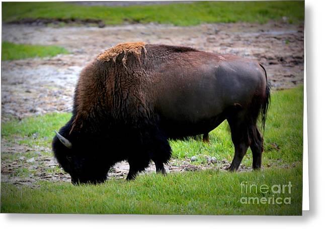 Buffalo Greeting Cards - One Buffalo Greeting Card by Carol Groenen
