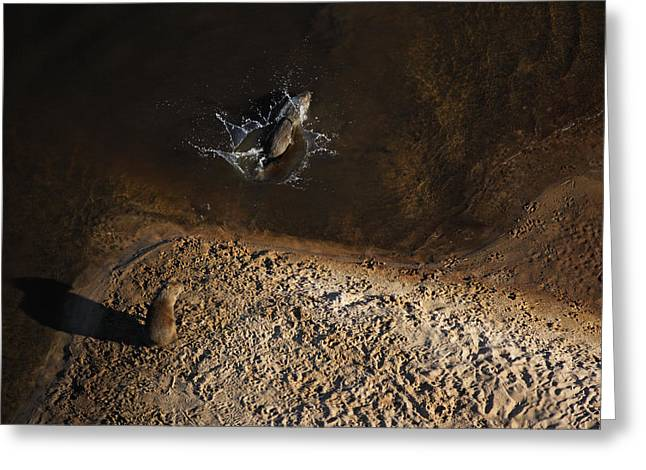 Negro Greeting Cards - One Capybara Dives Into The Rio Negro Greeting Card by Bobby Haas