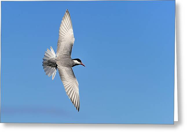 Tern Greeting Cards - One Good Tern Deserves Another Greeting Card by Tony Beck