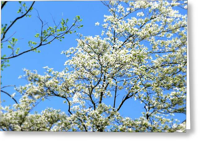 Dogwood Silhouette Greeting Cards - One More Blooming Dogwood Greeting Card by Cindy Wright