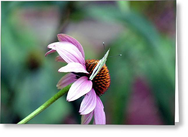 Butterfly On Lavender Greeting Cards - One On One Greeting Card by Maria Urso