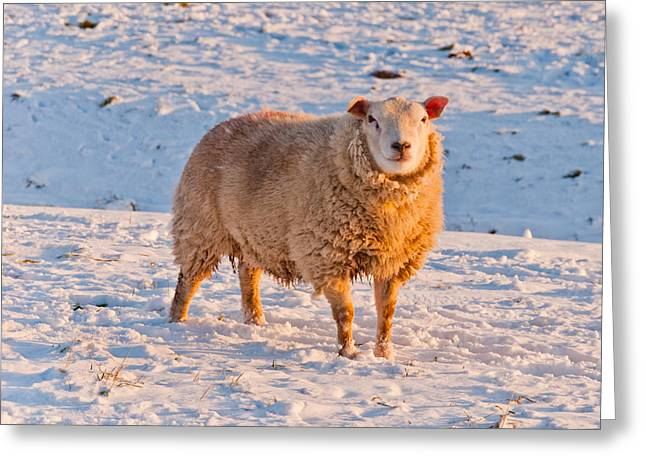 Sunset; Evening; Winter; Snow; Sheep Greeting Cards - One sheep in a snowy Dutch field Greeting Card by Ruud Morijn