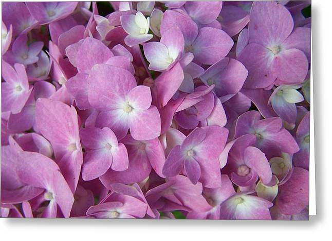 Fushia Greeting Cards - Oodles of Petals Greeting Card by Sandy Collier
