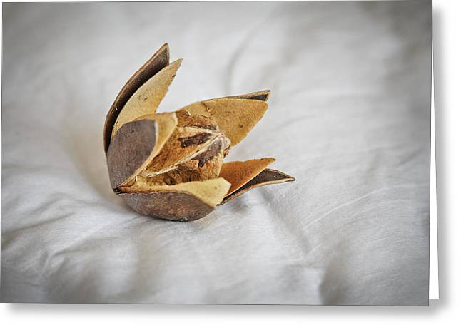 Textile Photographs Greeting Cards - Open cotton bud and Square Greeting Card by Kantilal Patel