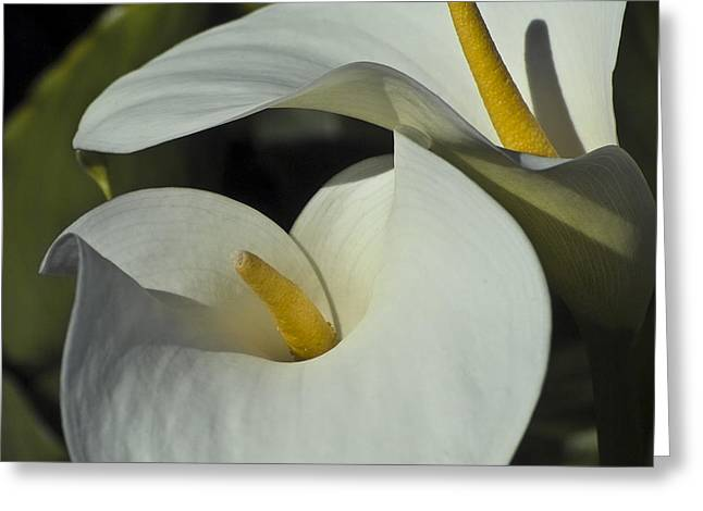 Calla Lily Greeting Cards - Open white calla lily Greeting Card by Heiko Koehrer-Wagner