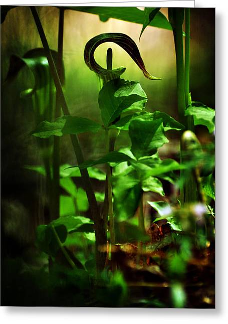 Jack In The Pulpit Greeting Cards - Opening and Upward Greeting Card by Rebecca Sherman