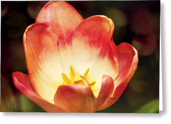 Oregon Flowers Greeting Cards - Opening of a Tulip Greeting Card by Cathie Tyler