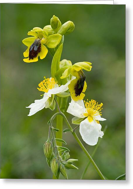 Southern France Greeting Cards - Ophrys Lutea And Helianthemum Apenninum Greeting Card by Bob Gibbons