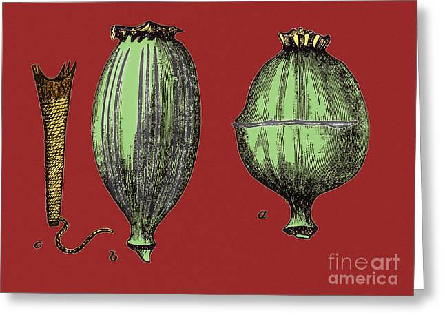 Color Enhanced Greeting Cards - Opium Harvesting Greeting Card by Science Source
