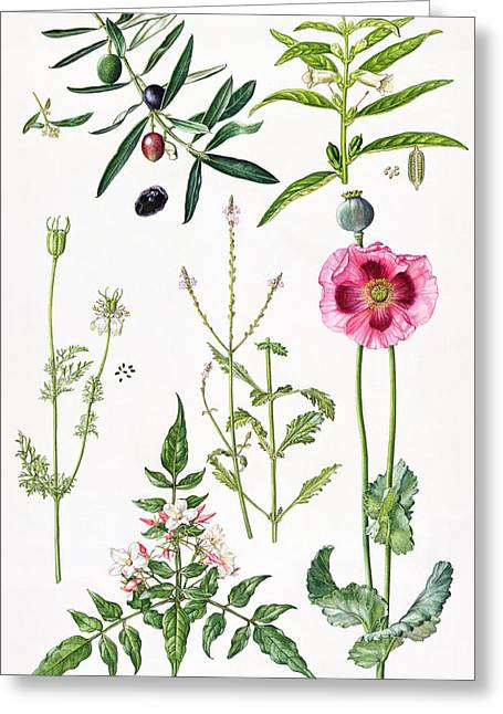 Black Berries Greeting Cards - Opium Poppy and other plants  Greeting Card by  Elizabeth Rice