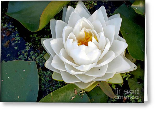 White Waterlily Greeting Cards - Optical Illusion in a Waterlily Greeting Card by Kaye Menner