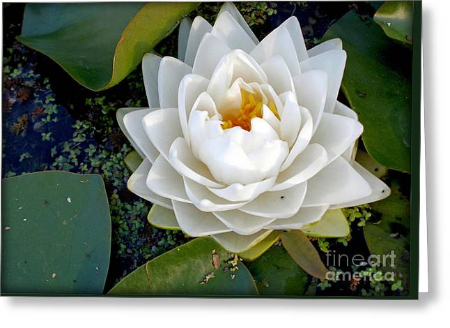 Optical Illusion In A Waterlily Greeting Card by Kaye Menner