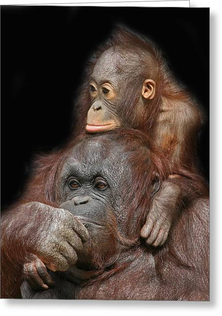 Orang Utans Greeting Cards - Orang-utan Mother And Baby Greeting Card by Larry Linton