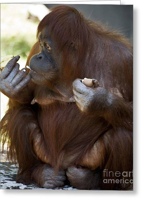Orang-utans Greeting Cards - Orang Utang Eating Greeting Card by Heiko Koehrer-Wagner