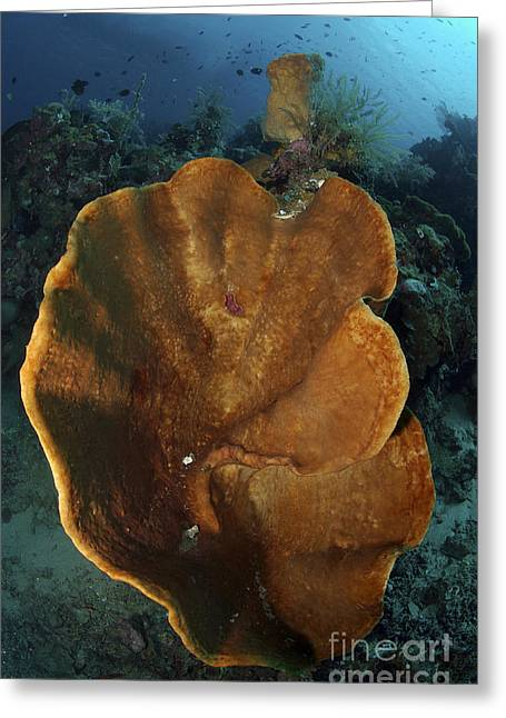 Undersea Photography Greeting Cards - Orange And Brown Sponge, North Greeting Card by Mathieu Meur