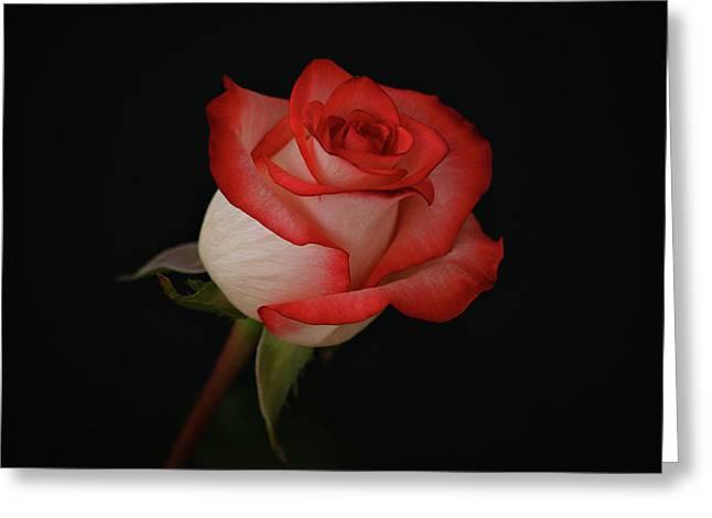 Orange and White Rose Greeting Card by Sandy Keeton