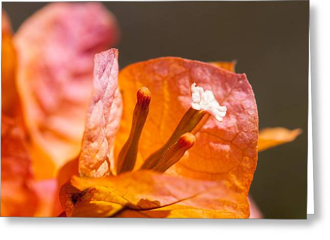 Caryophyllales Greeting Cards - orange Bougainvillea Greeting Card by Ralf Kaiser