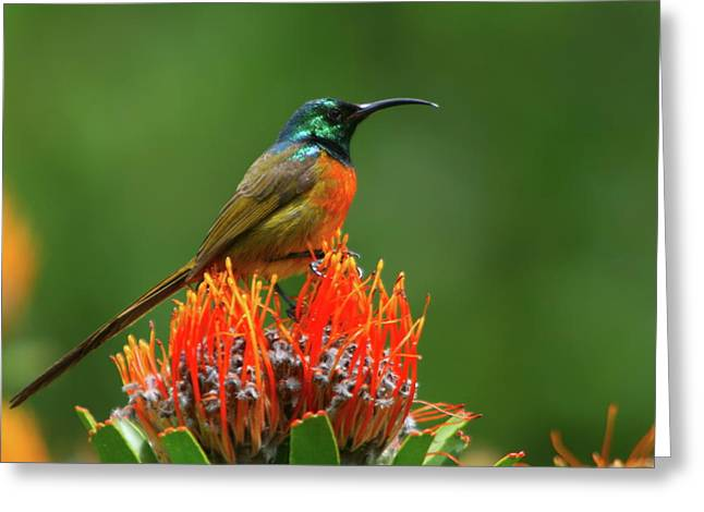 Sunbird Greeting Cards - Orange-breasted Sunbird On Protea Blossom Greeting Card by Bruce J Robinson