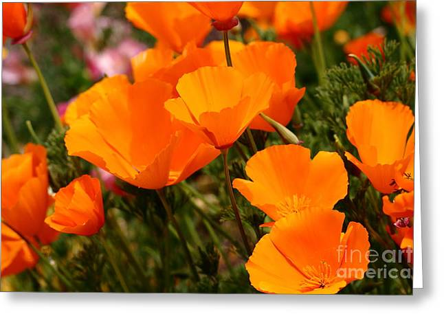 Perrenials Greeting Cards - Orange California Poppy . 7D14754 Greeting Card by Wingsdomain Art and Photography