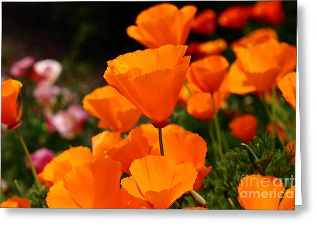 Perrenials Greeting Cards - Orange California Poppy . 7D14755 Greeting Card by Wingsdomain Art and Photography