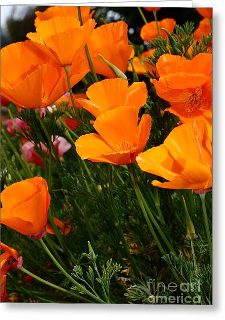 Perrenials Greeting Cards - Orange California Poppy . 7D14756 Greeting Card by Wingsdomain Art and Photography