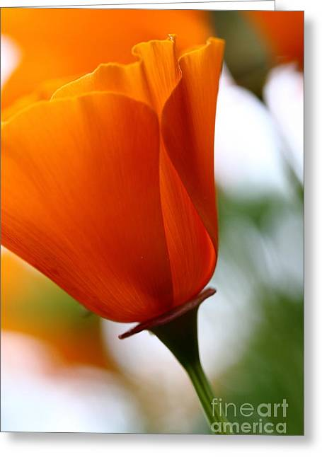 Perrenials Greeting Cards - Orange California Poppy . 7D14789 Greeting Card by Wingsdomain Art and Photography