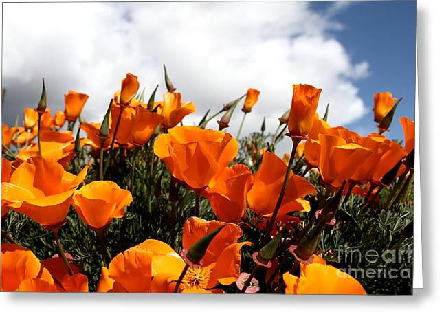 Perrenials Greeting Cards - Orange California Poppy . 7D15016 Greeting Card by Wingsdomain Art and Photography