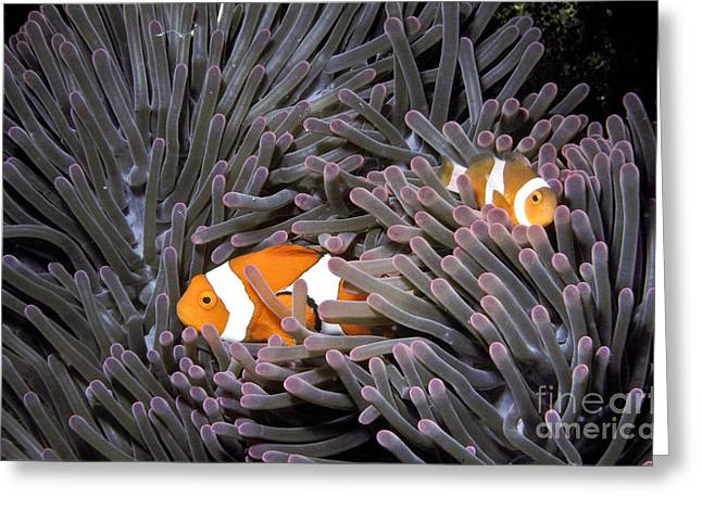 Reef Fish Greeting Cards - Orange Clownfish In An Anemone Greeting Card by Greg Dimijian