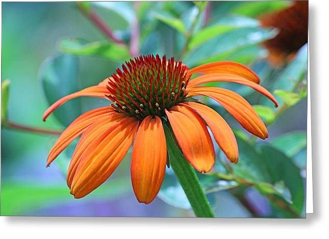 Becky Greeting Cards - Orange coneflower Greeting Card by Becky Lodes