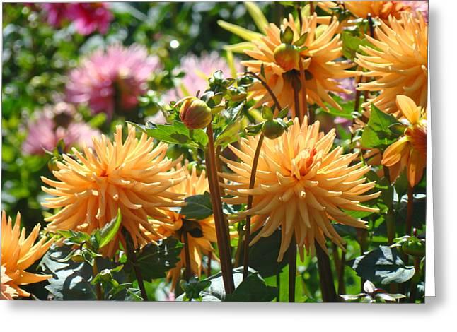 Art Heals Greeting Cards - Orange Dahlia Flowers art prints Canvas Framed Greeting Card by Baslee Troutman