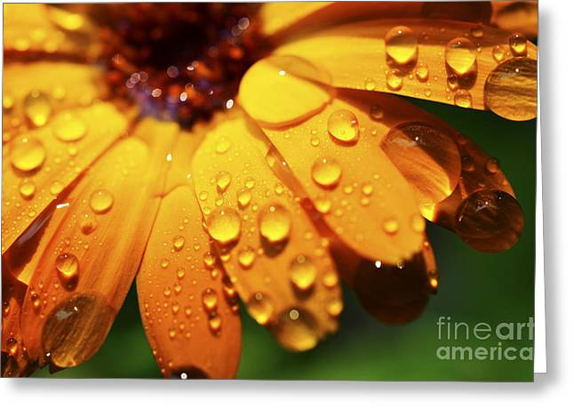 Orange Daisy And Raindrops Greeting Card by Thomas R Fletcher