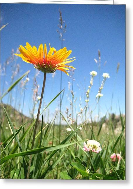 Orange Wildflower Greeting Cards - Orange Daisy Greeting Card by Flora Fauna Photography