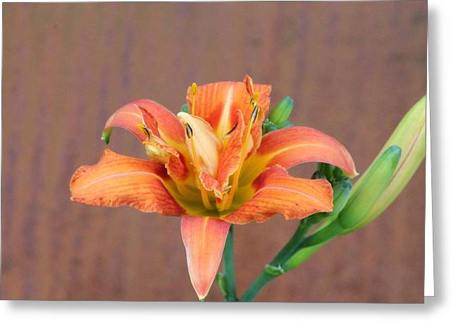 Day Lilly Greeting Cards - Orange Daylily Greeting Card by Lawrence Scott