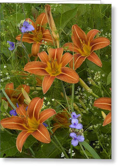 Tradescantia Greeting Cards - Orange Daylily With Virginia Spiderwort Greeting Card by Tim Fitzharris