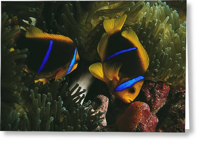 Animal Life Cycles Greeting Cards - Orange-fin Anemonefish Inspects Eggs Greeting Card by Paul Nicklen