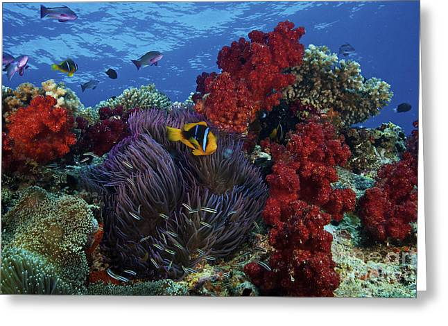 Stocktrek Images - Greeting Cards - Orange-finned Clownfish And Soft Corals Greeting Card by Terry Moore